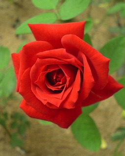 Red_rose_00090