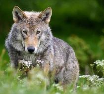 Wolf Robert Dewar